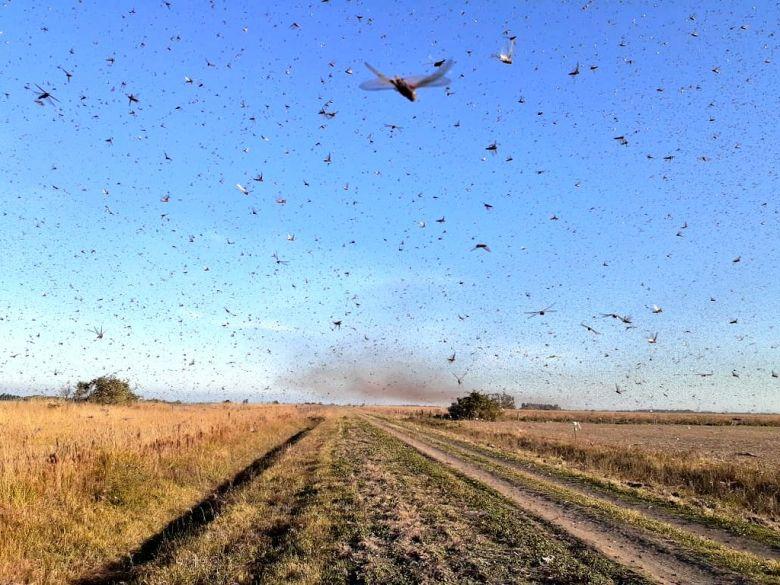 Nuvem de gafanhotos continua na região da província de Corrientes, na Argentina. Ações conjuntas permanecem na tentativa de combater a praga. Crédito: Imagem de divulgação/SENASA.